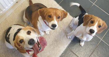 Κουτάβια BeagleΛατρευτά κουτάβια Beagle προς πώλησηΧαριτωμένα και