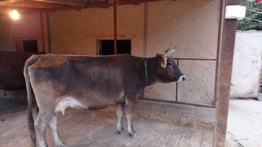 Продаю   Корова (самка)   Алатауская   Для молока   Стельные
