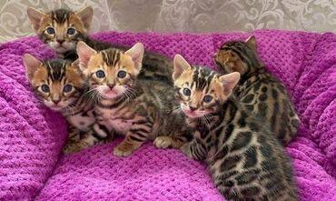 Животные - Тюп: Доступны для резерва чистокровные бенгальские котята Родились 26.04.20
