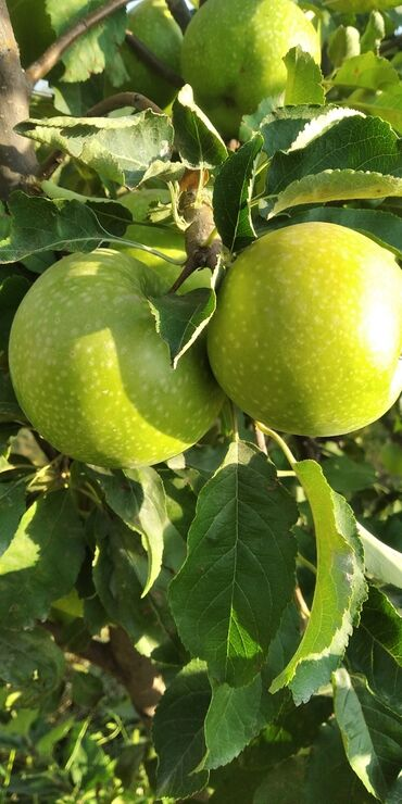 132 объявлений: Яблоки оптом сорт польский айдаред,грини и голден находится в Ивановке