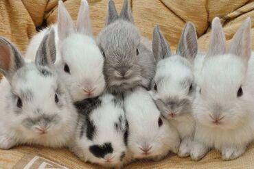 кролики бишкек in Кыргызстан   ДЕКОРАТИВНЫЕ КРОЛИКИ: Декоративные кролики