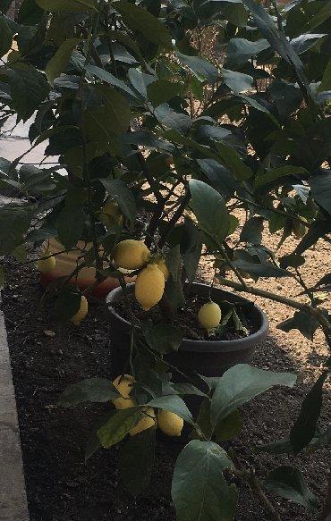 599 объявлений: Продается лимонное дерево с плодами и без, многолетние и молодые сажан