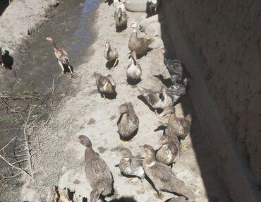 Другие животные - Беловодское: Продаются Инда утка цена договорная