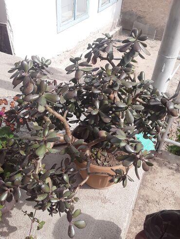 44 объявлений: Продаю живую дерево болье 3лет отдам за 1500