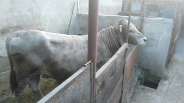Продаю бычка пароды швиць чистый ему 9 месяцев на племя в Беловодское