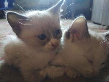 СИАМСКИЕ Котята:Отдам в хорошие руки,двух белых сиамских котят.Мальчи