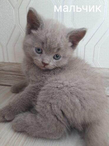 лоток арычный цена бишкек в Кыргызстан: Продаём котят. Чистокровные фолды и страйты. Окрас лиловый и голубые т