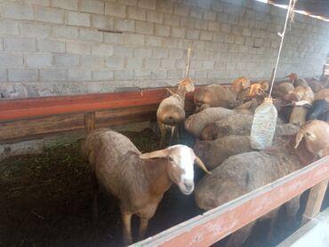 Животные - Чалдавар: Бараны, овцы