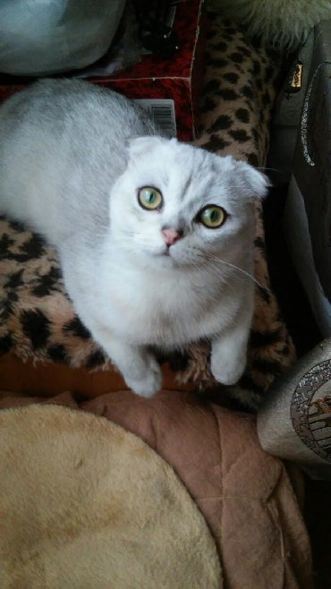тигровые коты в Азербайджан: Skotiw fold wotland erkek winwilla rengi cutlewtirmey ucun.Satilmir
