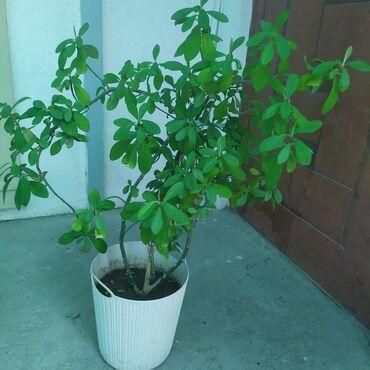 Комнатные растения в Кыргызстан: Цветы для офиса и дома. Распродажа, цены приемлемые Скидки будут, тор