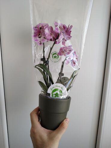 Орхидеи мультифлорки.Производитель: Нидерланды.Цена: 35 азн.Decorate