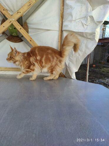 Рыжий красавец кот !!!Ждёт самые любящие руки!! Очень ласковый и