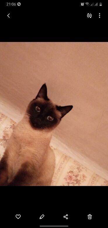 стерилизовать кошку в Кыргызстан: Отдам в хорошие руки сиамскую домашнюю кошку.Очень умная и добрая.Ко