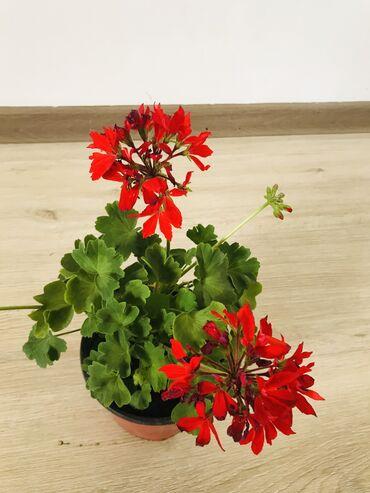 растение-комнатная в Кыргызстан: Комнатное растение ГЕРАНЬ, высота 20 см