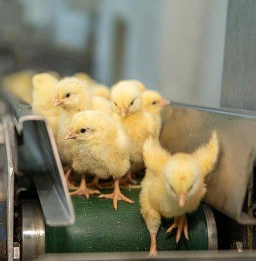 ferrari 308 gt4 в Кыргызстан: Бройлерные цыплята кобб 500 и росс 308 Турецкие. Пишите ватсап имя