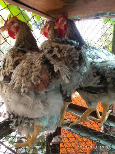 Петухи на племя или мясо! Мастер Грей! 1 кг 300 сом( живой вес)