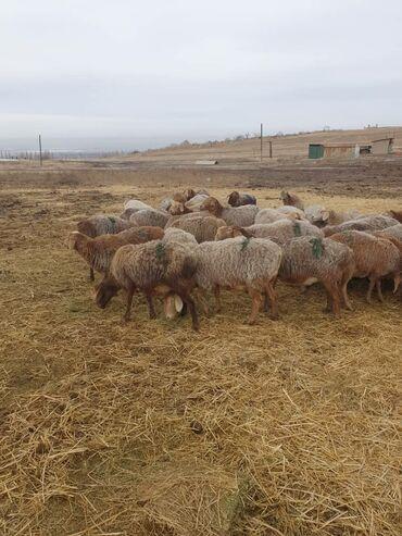Гисар кой - Кыргызстан: Гиссар койлор Бооз сатылат