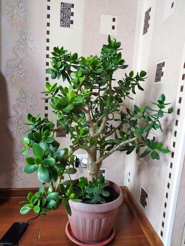13694 объявлений: Продается комнатное растение (доллар) Цена окончательно