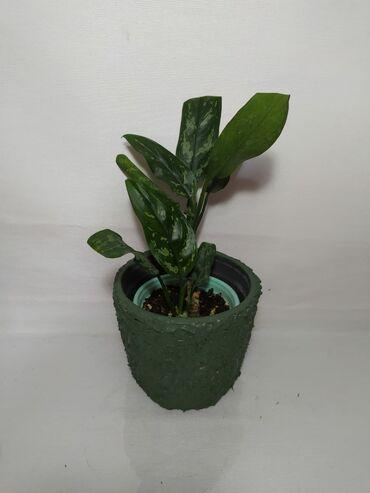 Otaq bitkiləri Xırdalanda: Aglaonema  Hundurluyu 35 sm Qiymeti 16 Azn dibcekle (dekor el ishi) Ca