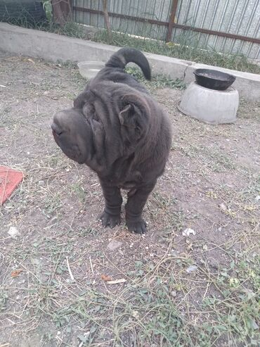 ветеринар бишкек in Кыргызстан | УСЛУГИ ВЕТЕРИНАРА: Продаётся шикарный породистый щенок шарпей 6месяцев. Мальчик племенной