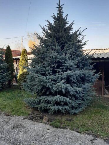 Туй голубые ели - Кыргызстан: 19 елок и туй оптом!!!Европейские ели (5 штук), возраст - 7 лет