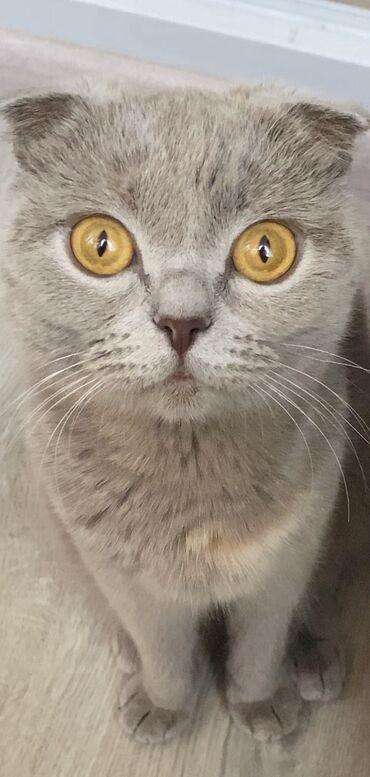 ищу кошку в Кыргызстан: Продаю вислоухую кошку