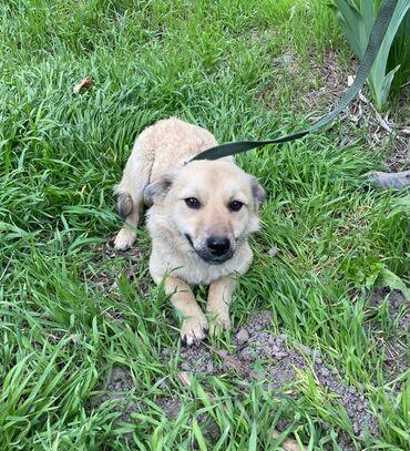 сколько стоит собака шпиц в Кыргызстан: Маленькая молодая собачка, отличный звоночек. Добрая ласковая но на чу
