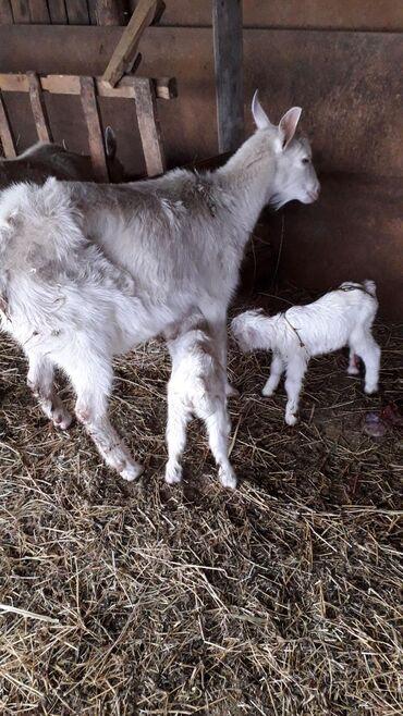 Продаю дойную козу молочной породы с козлятами