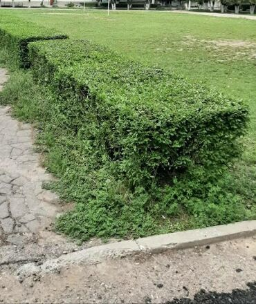 Стрижка самшит газон изгород кустарники и др. Опыт более 10 лет