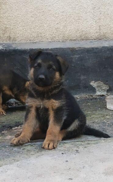 Продаются щенки немецкой овчарки, проглистованы,активны. Три мальчика