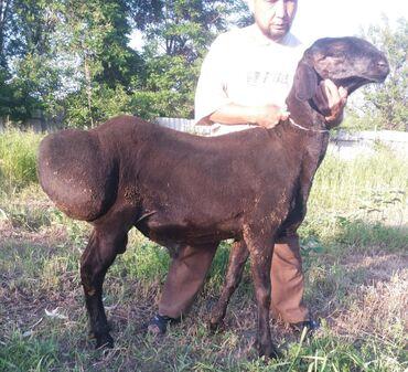 животный-с в Кыргызстан: Чистокровный гесар кочкор 1г рост95см . Гисар находится в Сокулуке