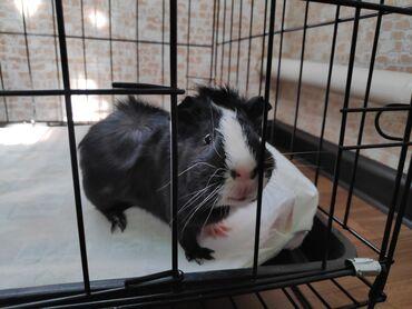 Морские свинки - Кыргызстан: Морская свинка розетка, самец 3.5 мес. В добрые и надёжные руки