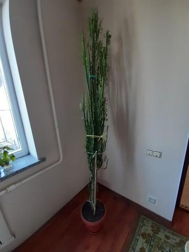 цветы комнатные молочай в Кыргызстан: Молочай комнатный. Высота 230см