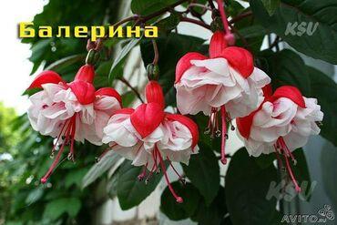 Комнатные растения - Кыргызстан: Детки фуксий