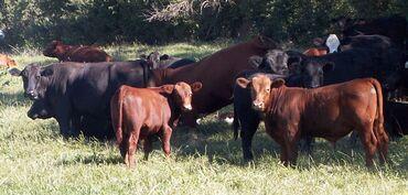 Принимаем откормленный скот,живым весом и на убой
