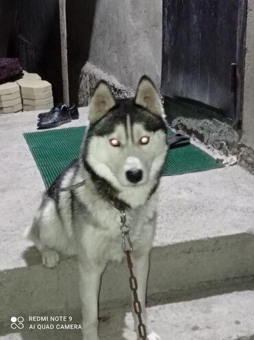 Срочно срочно продам собаку Порода Хаски Сибирская Чистокровка глаза
