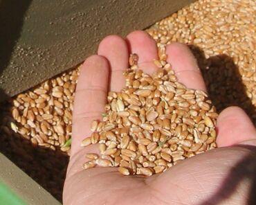 мед цена за 1 кг 2021 in Кыргызстан | МЯСО, РЫБА, ПТИЦА: Пшеница новый урожай 2021 год, в мешках район Арча Бешик есть 1 тонны