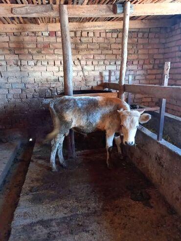 Животные - Покровка: Коровы, быки