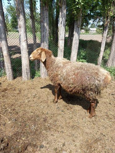 Продаю   Овца (самка)   Гиссарская   Для разведения   Матка