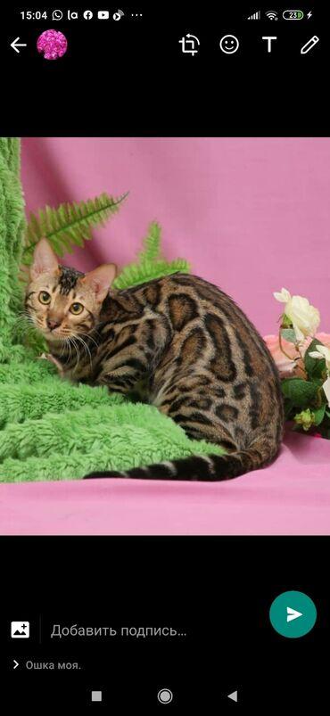 Питомник Бен Гла Мур. Предлагает красивейшего котика бенгальской