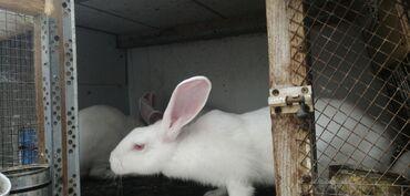 58 elan | HEYVANLAR: Zellandiya dovşanları satılır
