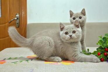 Котята Британской короткошерстной Лилового и шоколадного окраса. 4