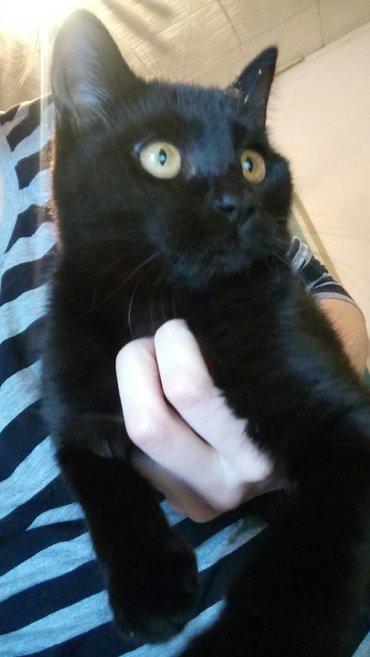 Отдам в добрые и заботливые руки кошечку. Ласковая, контактная, любит  в Бишкек