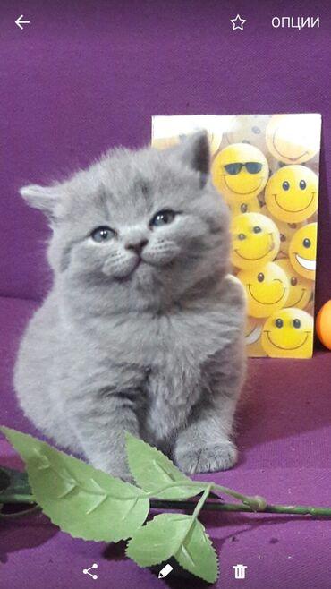 539 объявлений   ЖИВОТНЫЕ: Продаются британские котята с документами. Хороший костяк и набивная