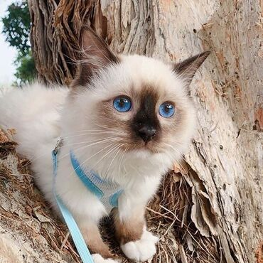 LOVELY AMAIZINGRAGDOL KITTEN K DISPOZICIBautiful dívka. kotě je