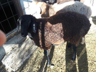 Продаю гиссарских овец. Продаются только черные