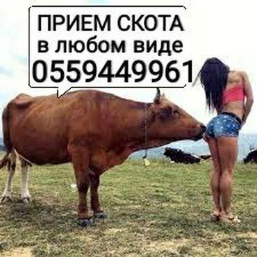в Сокулук: Куплю брак С/Х Животных КОЛБАСНЫЙ ЦЕХ