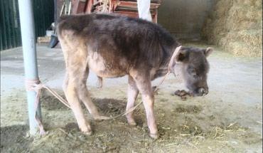 Продается бычок Швицкой мясо-молочной породы , возраст: 2,5 месяца. в Кант