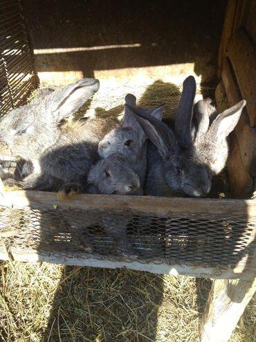 Животные - Маловодное: Продаю кроликов 3,5х месячных
