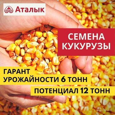 Кукуруза, семена кукурузы в Бишкеке. Действует госпрограмма (МСВХиРР)